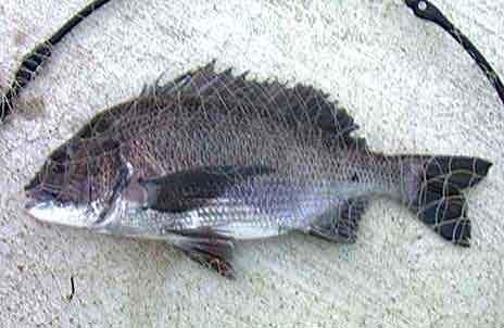 48cmの黒鯛