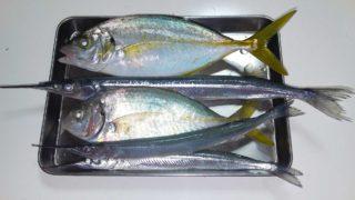 シマアジの幼魚とサンマサイズのサヨリ